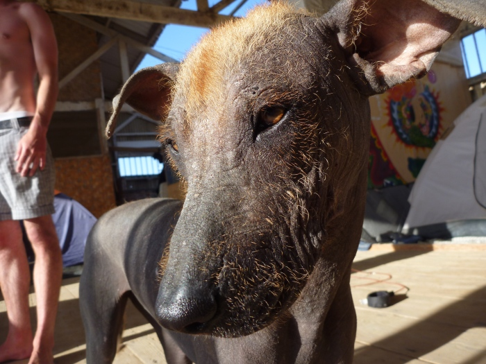 A Peruvian hairless dog in Lobitos.